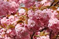 Cherry Blossom _ closeup