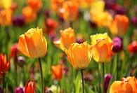 Multicolor tulip field