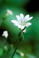 Single white flower on green background