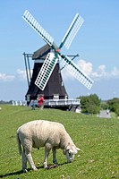 Sheep in front of the Nordermuehle windmill, Pellworm, North Friesland, Schleswig-Holstein, Germany, Europe, PublicGround