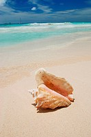 Shell on caribbean beach in Dominican Republic