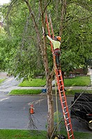 Detroit, Michigan - Removing a green ash tree that had been killed the the emerald ash borer  The ash borer is an invasive species which threatens to ...