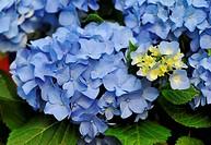 blossom of a blue Hydrangea Hortensia in a garden