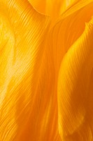 yellow tulip petals abstract background