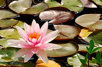 Water lily with leaves in the pond.