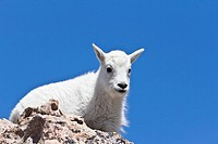 Mountain goat Oreamnos americanus, young, Mt. Evans, Colorado, USA