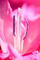 Internal details macro shot of purple Gladiolus flower