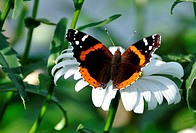Red Admiral Butterfly Vanessa atalanta on a Shasta Daisy leucanthemum superbum