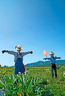 Rural scene – two scarecrows in the field.