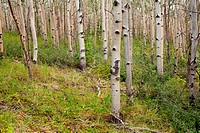 Northern aspen forest in summer