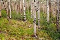 Northern aspen forest in summer