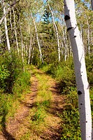 Small ATV trail trough sun lit romantic aspen forest.