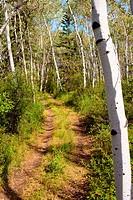 Small ATV trail trough sun lit romantic aspen forest.