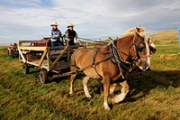 Two cowboys steering a horse cart, Saskatchewan, Canada, North America