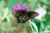Black female Swallowtail butterfly on a purple flower