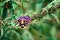 Snowberry Clearwing hummingbird Moth on a purple flower