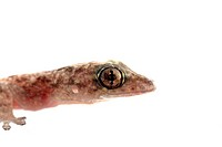 animal chinese gecko head isolated on white background
