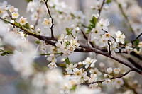 Branches with beautiful spring white cherry flowers