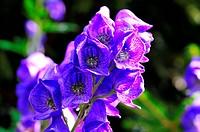 Eisenhut blau Blüte