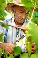 Senior winemaker cuts twigs