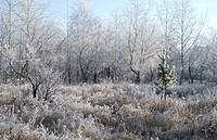 trees in a hoarfrost winter in morning, nothern Kazakhstan