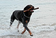 rottweiler playing in the sea with a stick