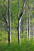 Beech forest in Jasmund National Park, Ruegen, Mecklenburg-Western Pomerania, Germany, Europe
