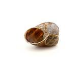 Empty garden snail shell isolated against white background.