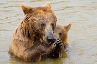 Brown Bear Mother and Her Cub Eating Grapes in the Water