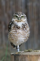 Burrowing Owl Portrait shot in Athens Zoo