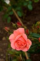Shot of beautiful pink rose, nature, plant, flower