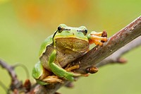 tree frog hanging on a branch on blurry green background