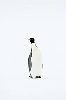Emperor penguin Aptenodytes forsteri standing on the ice in the Weddell Sea, Antarctica
