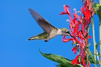 Immature Ruby_throated Hummingbird archilochus colubris in flight with red Cardinal flowers and a blue sky background