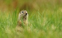 European Ground Squirrel or European Souslik (Citellus citellus), Northern Bulgaria, Bulgaria, Europe