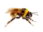 bumblebee on white background