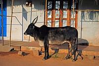 Heilige Kuh in Südindien, Asien