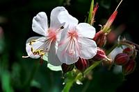 Storchschnabel, White blossom