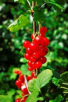 blatt, blätter, busch, detail, essen, frucht, garten, geschmack, grün, johannisbeeren, natur, obst, rispe, rot, sauer, vitamine, frucht, früchte, sten...
