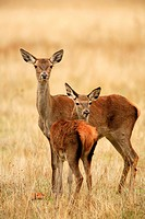 Female deer and young deer Cervus elaphus in the National Park Cabañeros
