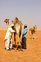 Milking a camel, camel farm, desert Rub´al_Khali or Empty Quarter, Abu Dhabi, United Arab Emirates, Middle East