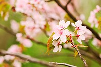 Sakura spring blossoms with shallow depth of field