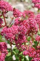 Hylotelephium, gefährdete Pflanze, blühend im August, mit Bienen