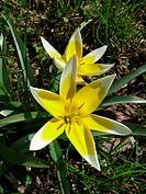 Tulipa tarda, Späte Tulpe, tulip