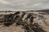 Colony of Marine iguanas Amblyrhynchus cristatus, Punta Espinoza, Fernandina Island, Galapagos Islands, Ecuador