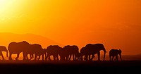 Elephant herd silhouetted against orange yellow sky and hills at sunset as they walk by, Amboseli lake bed, Kenya, East Africa