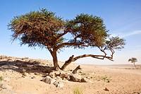 Tamarisk (Tamarix), Erg Chegaga region, Sahara desert near Mhamid, Morocco, Africa