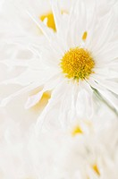 Chrysanthemum ´Vallee Blanche´, Chrysanthemum, White subject.