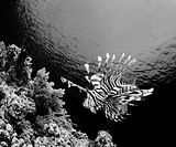 black and white portrait of a lion fish