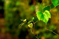 Young green grape twig on blurry background